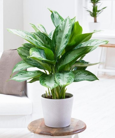 Green Houseplant